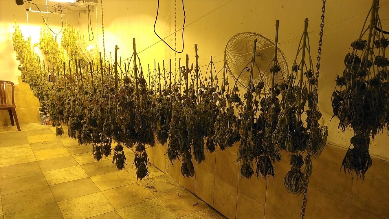 La Policía Local de Elda desmantela un secadero de plantas de marihuana instalado en el interior de una planta baja del barrio Fraternidad